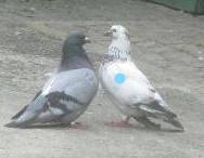 duiven in gesprek_LI